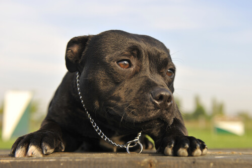 Cão da raça Pitbull