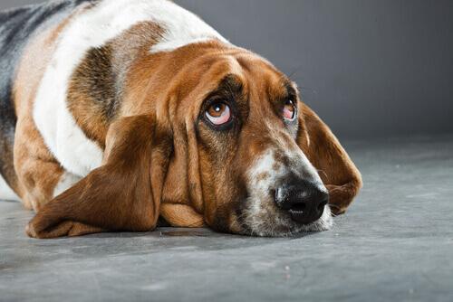 Cão da raça Basset Hound