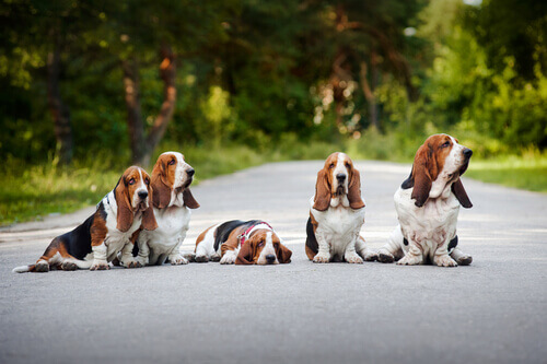 Cães Basset Hound