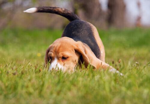 O nariz no cão: curiosidades