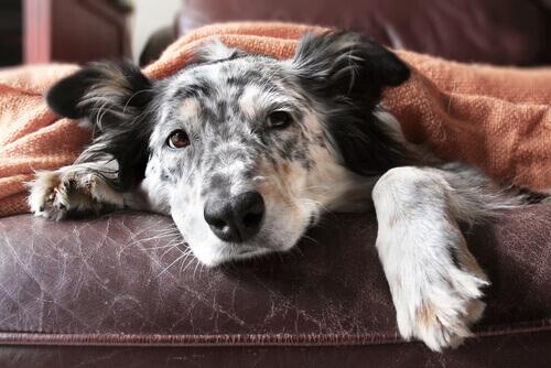 Guia da velhice para cães
