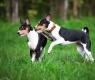 cães-basenji
