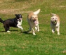 cães2