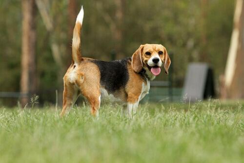 O cachorro e o seu rabo: significados