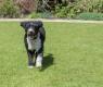 cão-dagua-espanhol