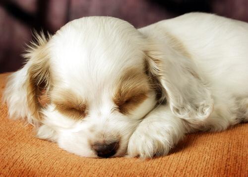 o sono dos cães