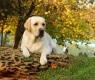 cão-labrador-parque