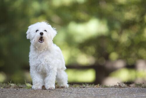Em que idade os cães começam a latir?