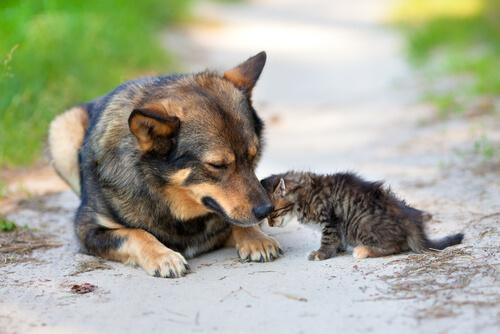 Cão adota e protege gatinho abandonado