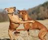 cachorros dominantes