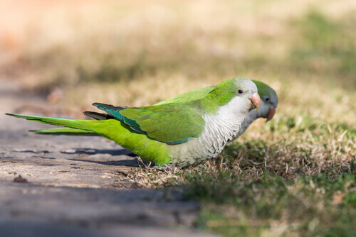 Características do papagaio