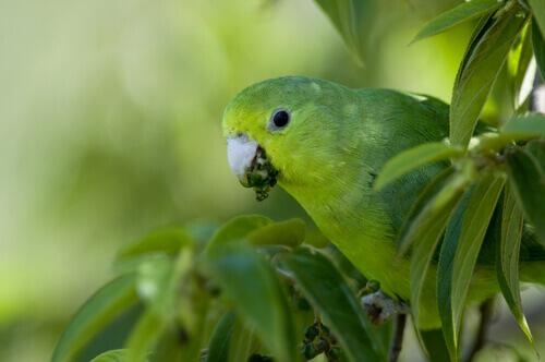 A Caturrita Argentina, uma ave muito escandalosa