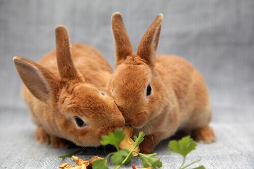 Como alimentar os coelhos de maneira adequada