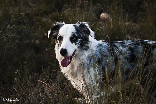Sinais de envelhecimento nos cães