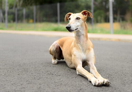 Cão da raça Galgo