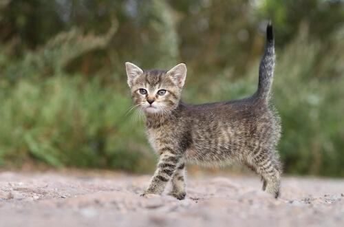 Gato com cauda ereta