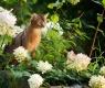 gato-abissino