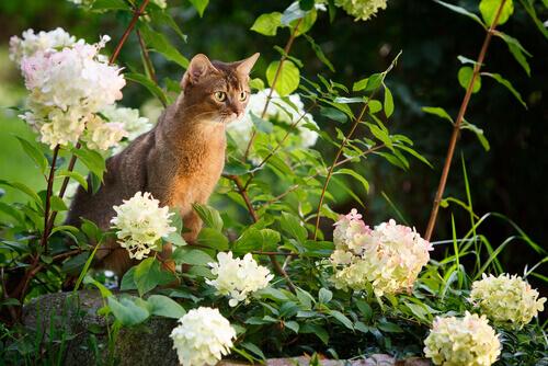O Abissínio, o gato dos olhos curiosos