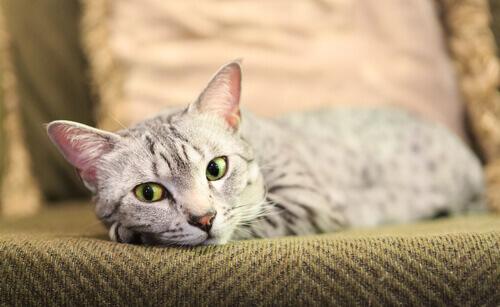 Você conhece a raça de gatos Mau egípcio? Aqui contaremos a você sobre a raça