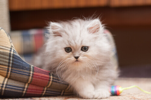 10aa037d534 O gato Persa  conheça suas características - Meus Animais