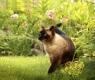 gato-siames1