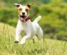 jack-rusell-terrier
