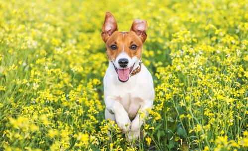 O Jack Russell Terrier: um cão muito inteligente