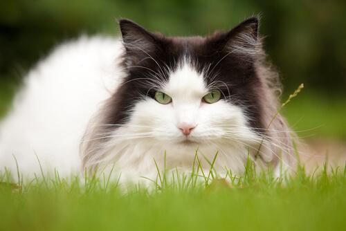 Contamos tudo sobre o gato Norueguês da Floresta