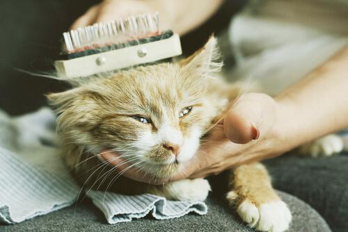 Escovando um gato