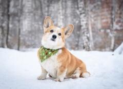 orelhas de cachorro