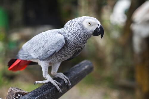 papagaio-gris-africano-2