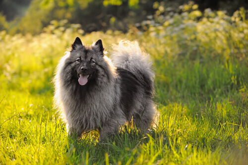 Características dos cachorros Keeshond. Descubra como eles são!