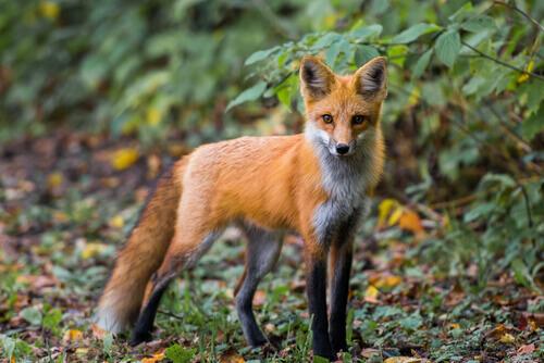 É possível ter uma raposa como animal de estimação e adestrá-la?