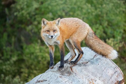 domesticar raposa