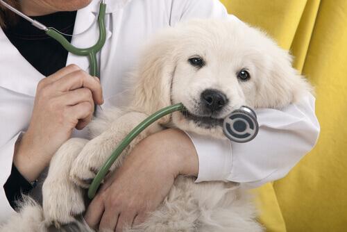 Os cachorros e o veterinário