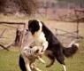 agressividade-cães