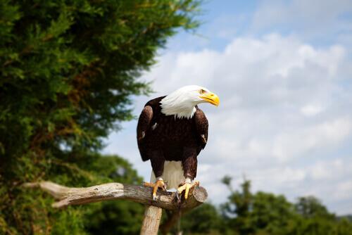 Extinção das águias