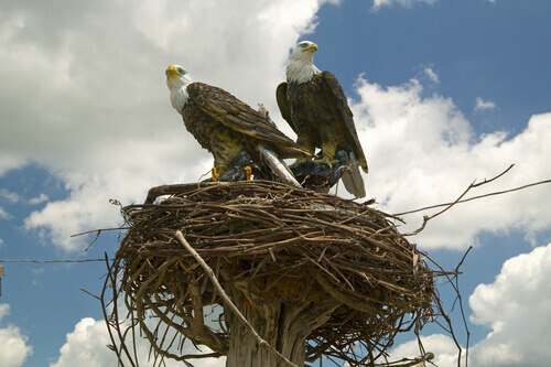 Uma águia não abandona o seu ninho durante uma tormenta