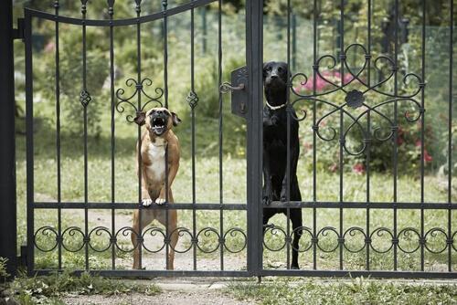 Cães latindo