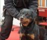 cães-antipiromanos