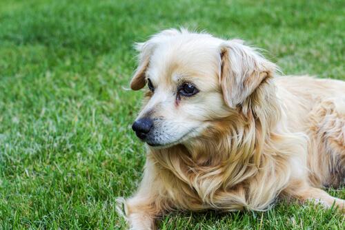 Cão com remela nos olhos