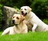 cães-labradores
