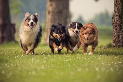 Cães correndo