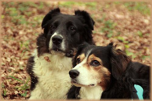 Cruzamento de cães