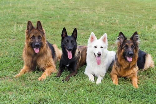 Cães pastores
