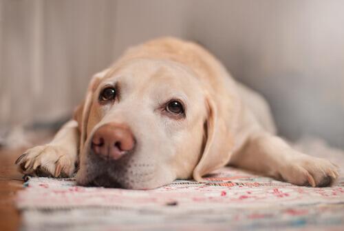 Cão com cálculos urinários