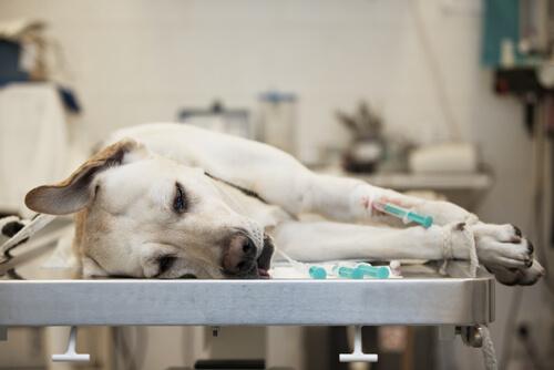 Cuidando de um cão ferido