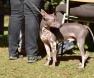 cão-hipoalergenico