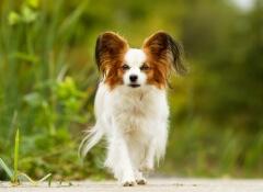 cão-idoso-pequeno