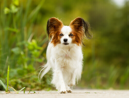 Tratamento adequado para cães idosos de raças pequenas